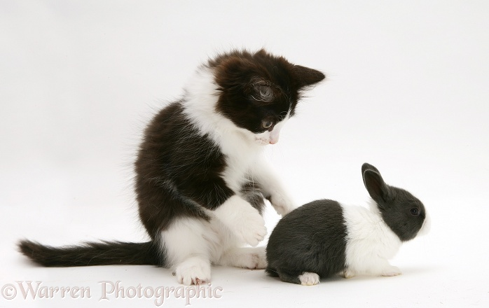 Black-and-white kitten, Felix, with baby blue Dutch rabbit, 3 weeks old, white background