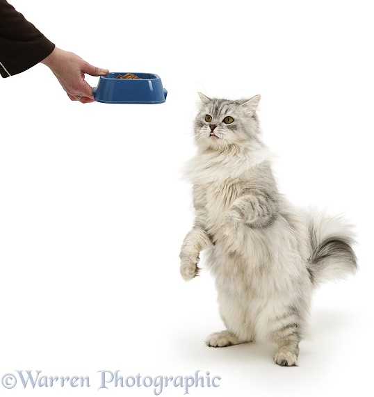 Chinchilla Persian cat, Horace, receiving food in a plastic bowl, white background