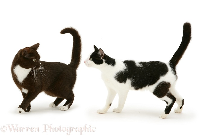 Two black-and-white cats, white background