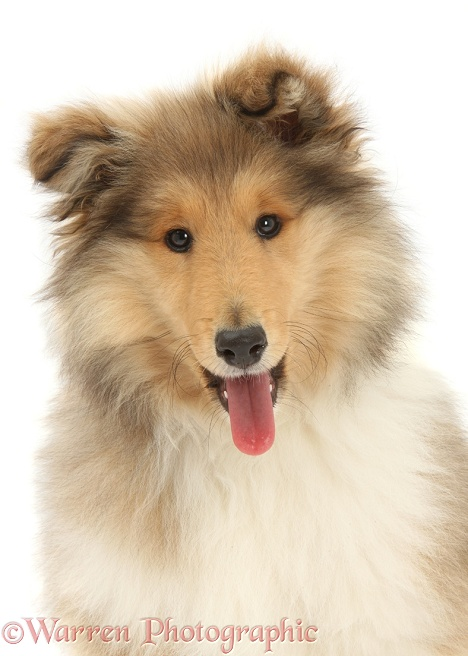 Rough Collie pup, Laddie, 14 weeks old, with his tongue out, white background