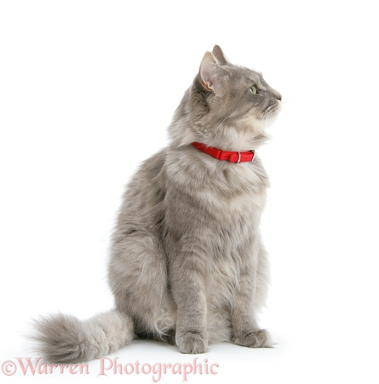 Adult Maine Coon female cat, Serafin, wearing a red collar, white background