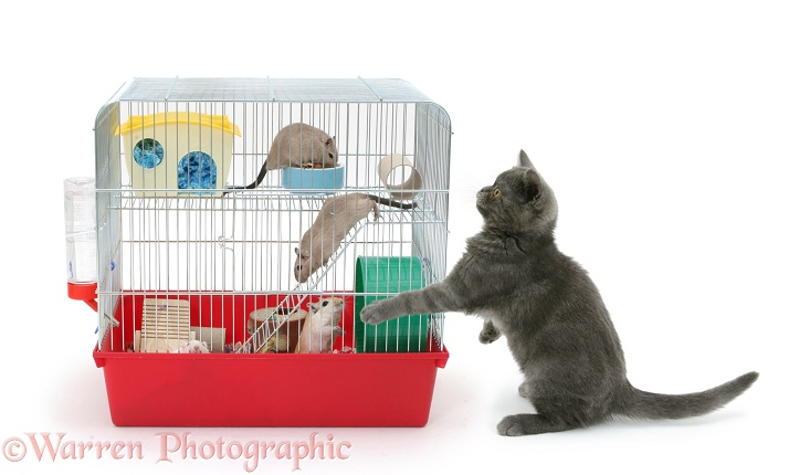 Grey kitten with gerbils in a cage, white background