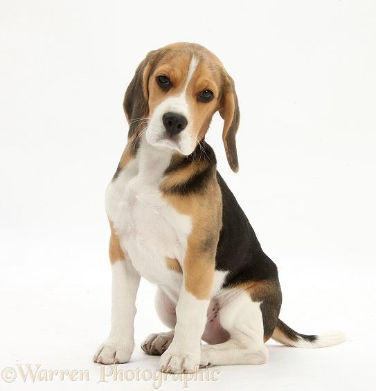 Beagle pup, Bruce, sitting, white background