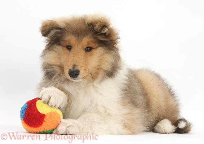 Rough Collie pup, Laddie, 14 weeks old, with a soft ball toy, white background