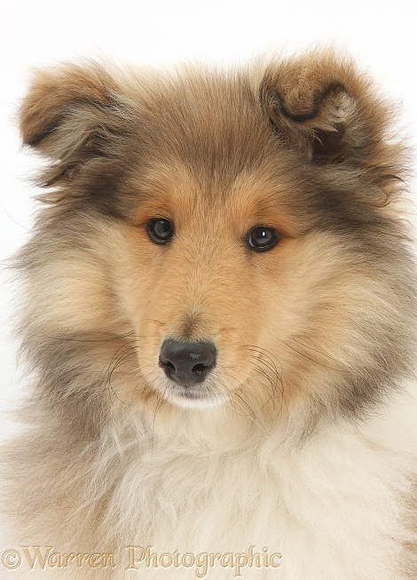 Rough Collie pup, Laddie, 14 weeks old, white background