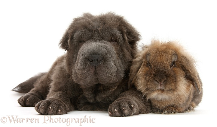 Blue Bearcoat Shar Pei pup, Luna, 13 weeks old, with Lionhead-cross rabbit, white background