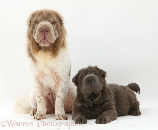 Bearcoat Shar Pei mother, Mia, with her Blue Bearcoat pup, Luna, 13 weeks old, white background