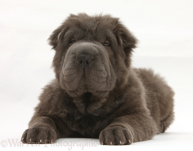 Blue Bearcoat Shar Pei pup, Luna, 13 weeks old, lying with head up, white background