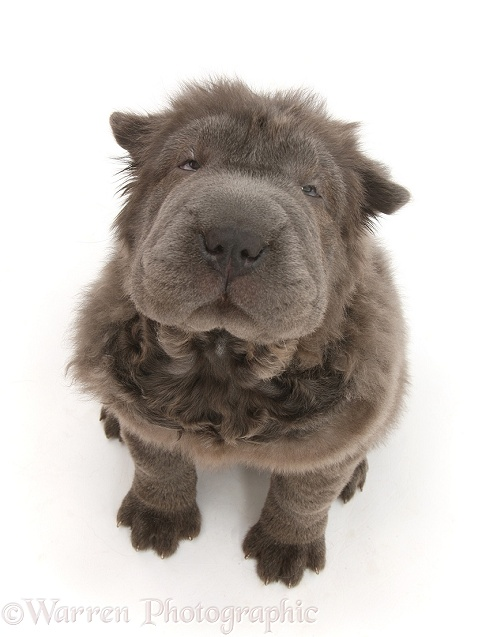 Blue Bearcoat Shar Pei pup, Luna, 13 weeks old, sitting and looking up, white background