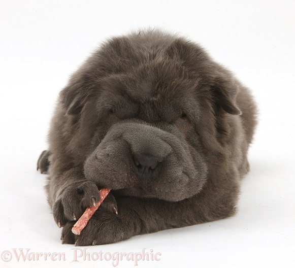 Blue Bearcoat Shar Pei pup, Luna, 13 weeks old, chewing a rawhide stick, white background