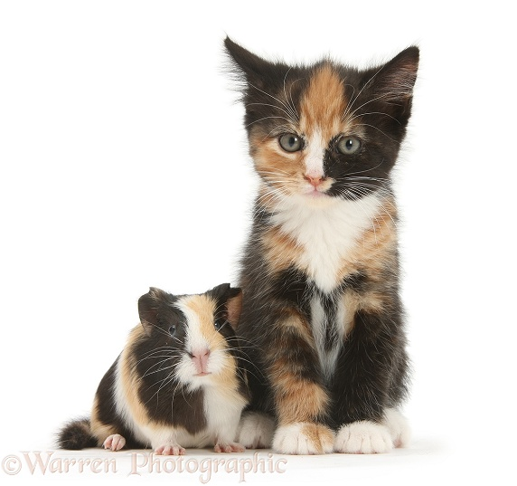 Tortoiseshell kitten with baby tortoiseshell Guinea pig, white background
