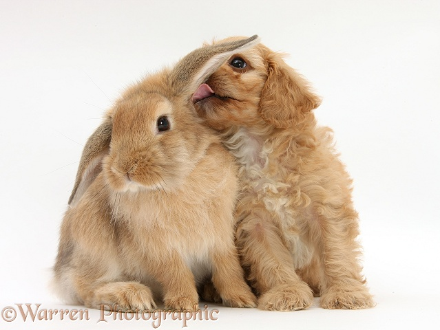Cavapoo pup licking the ear of Sandy Lop rabbit, white background