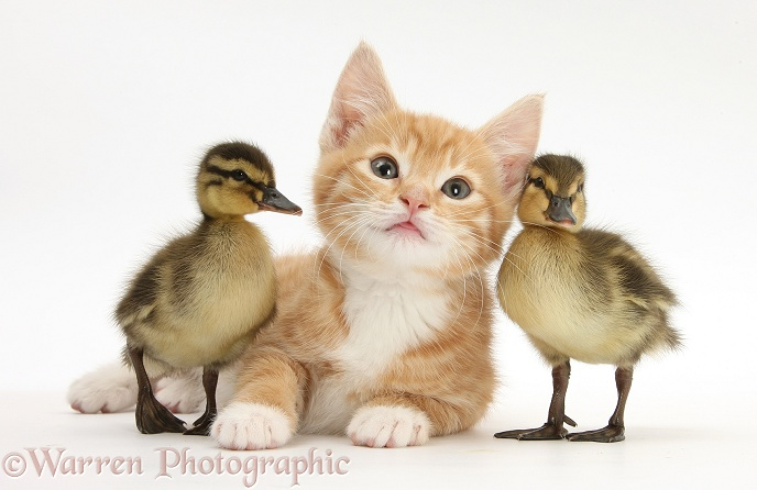 Ginger kitten, Tom, 8 weeks old, and Mallard ducklings, white background
