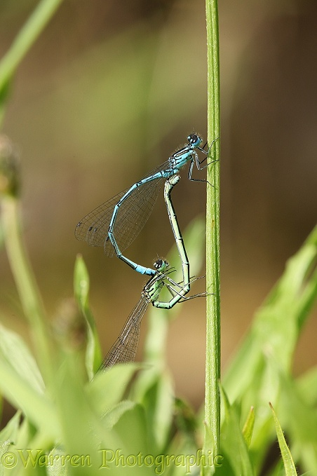 Common Blue Damselfly (Enallagma cyathigerum) mating pair