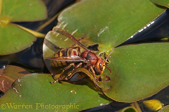 Hornet (Vespa crabro) queen drinking from a lily leaf