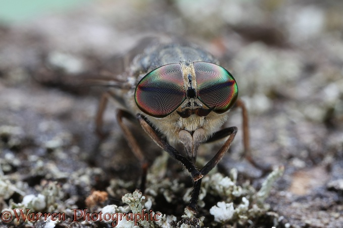 Horse Fly (Tabanus bromius) female