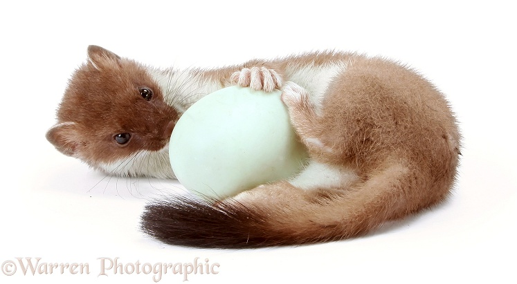Stoat (Mustela erminea) young female playing with a duck egg, white background