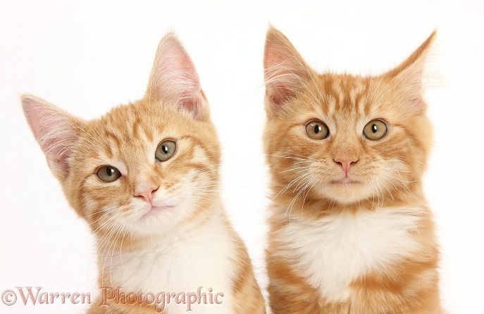 Two ginger kittens, Tom and Butch, 3 months old, white background