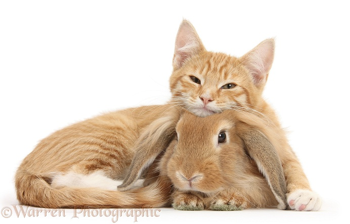 Sleepy ginger kitten, Tom, 3 months old, lounging on Sandy Lionhead-Lop rabbit, white background
