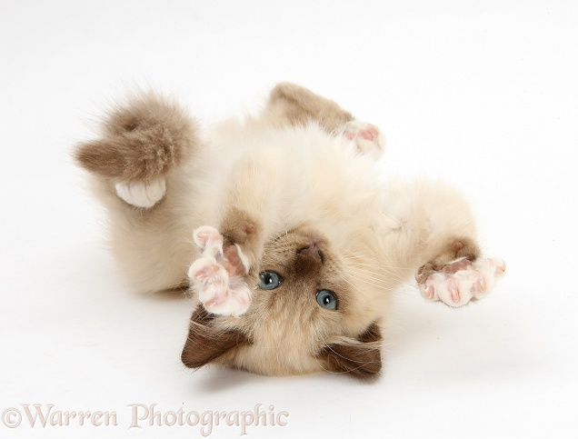 Birman-cross kitten playfully rolling, white background