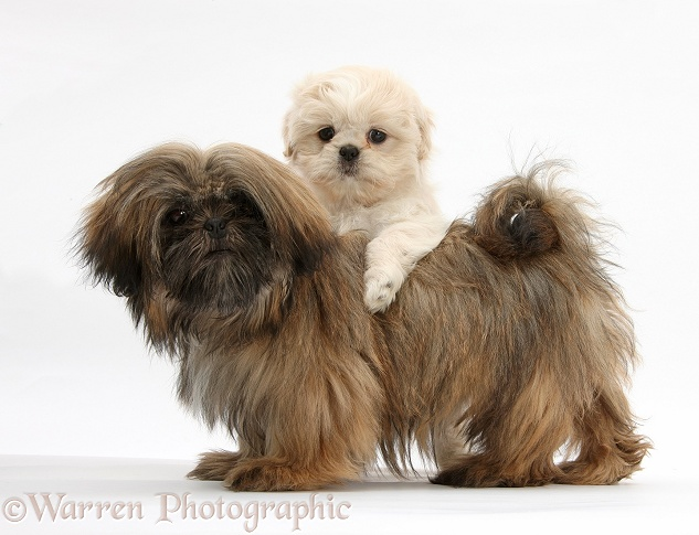 Cream Shih-tzu pup, Lilly, 7 weeks old, and brown Shih-tzu, Coco, 5 months old, white background