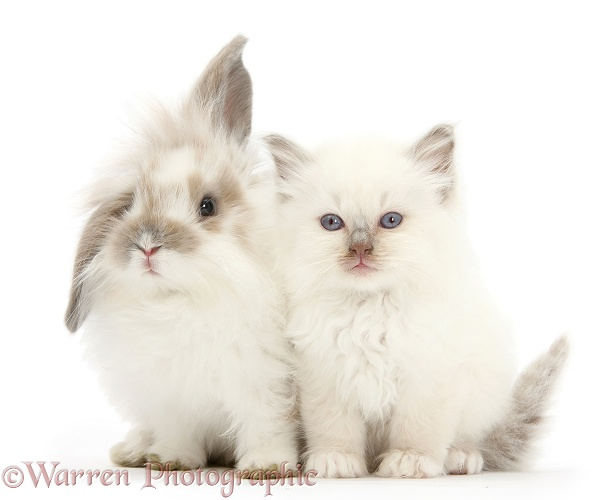 Young windmill-eared rabbit and matching kitten, white background