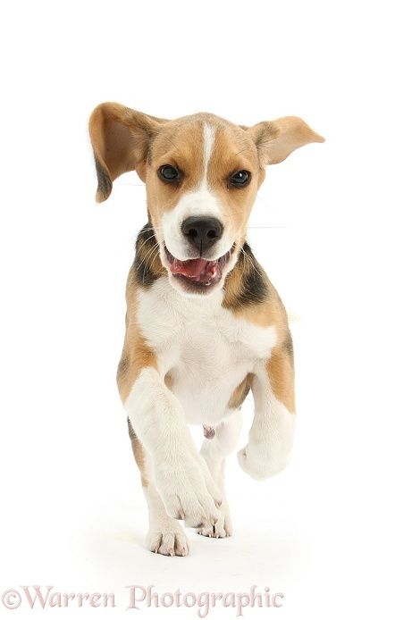 Beagle pup, Bruce, running, white background