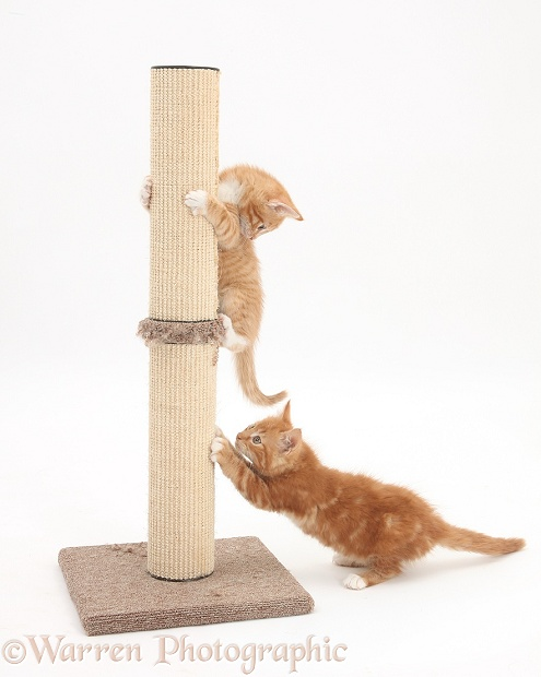 Ginger kittens, Tom and Butch, 9 weeks old, playing with scratch post, white background