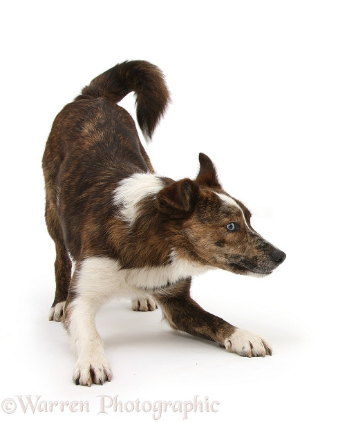 Mongrel dog, Brec, in play-bow, white background