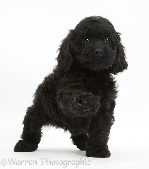 Black Cockapoo pup, 6 weeks old, white background