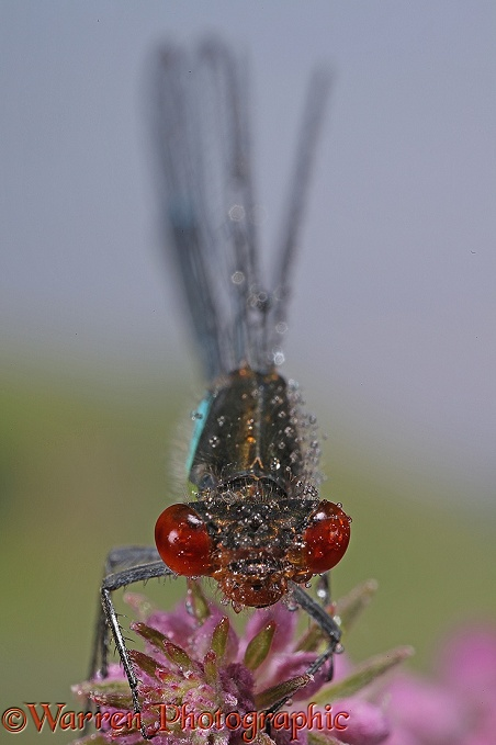 Small Red-eyed Damselfly (Erythromma viridulum) male after rain