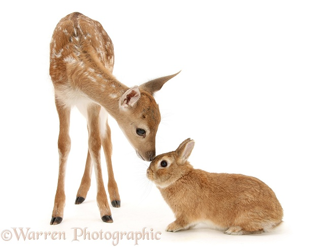 Fallow Deer (Dama dama) fawn and Sandy Netherland-cross rabbit, Peter, white background