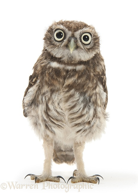 Young Little Owl (Athene noctua), white background