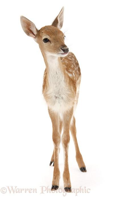 Fallow Deer Fawn Photo Wp28617