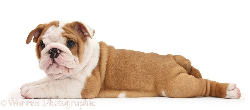 Bulldog pup, 8 weeks old, lying stretched out, white background