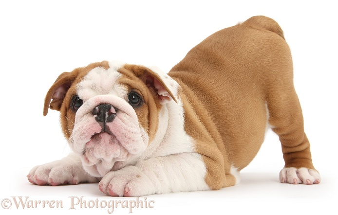 Cute playful Bulldog pup, 8 weeks old, in play-bow, white background