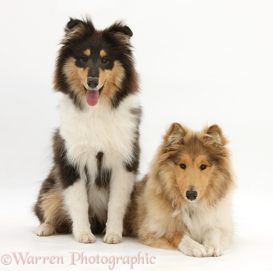 Rough Collies, Laddie and Flynn, 5 months old, white background