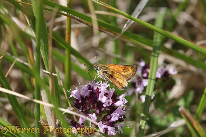 Lulworth Skipper Butterfly (Thymelicus acteon) female feeding on Marjoram (Origanum vulgare)