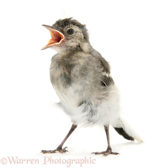 Fledgling Pied Wagtail (Motacilla alba), white background