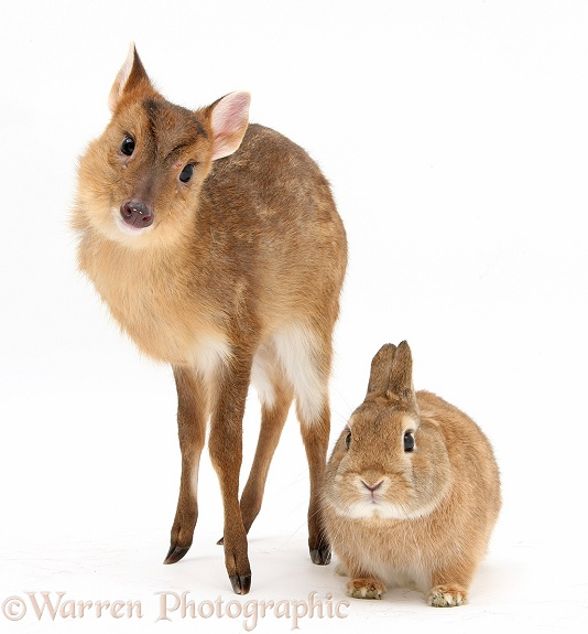 Muntjac (Muntiacus reevesi) deer fawn and Sandy rabbit, Peter