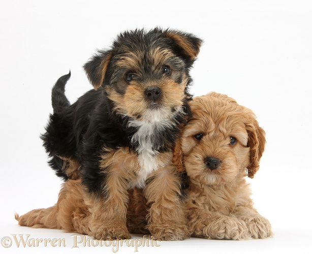 Cavapoo pup, 7 weeks old, and Yorkshire Terrier pup, Evie, 8 weeks old, white background