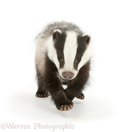 Young Badger Photo Wp28749