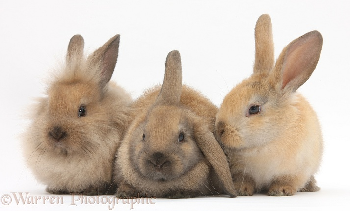 Three young sandy rabbits, white background