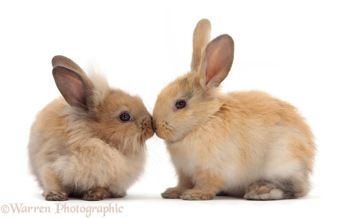 Young sandy rabbits nose-to-nose, white background