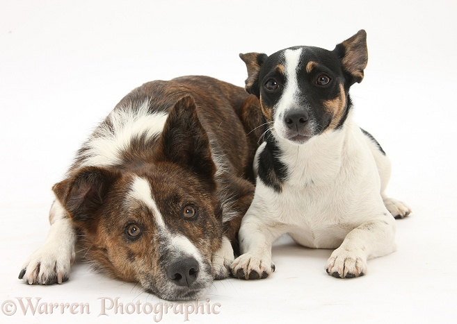 Mongrel dog, Brec, and Jack Russell Terrier bitch, Rubie, white background