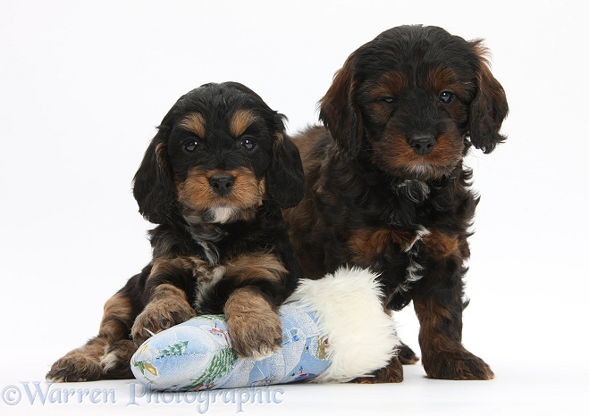 Cockapoo pups with Father Christmas sock, white background