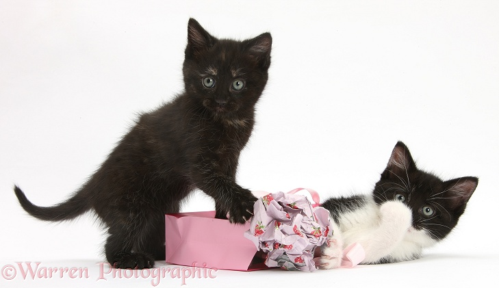Black and black-and-white kittens playing with birthday gift bag and wrapping paper, white background