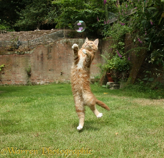 Ginger kitten, Butch, 3 months old, leaping to catch a soap bubble