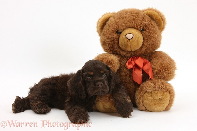 American Cocker Spaniel pup and teddy bear, Bearsley, white background