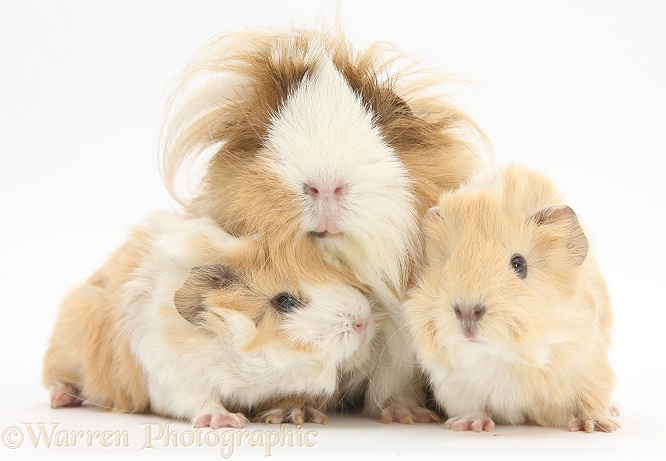 Long-haired mother Guinea pig and babies, white background